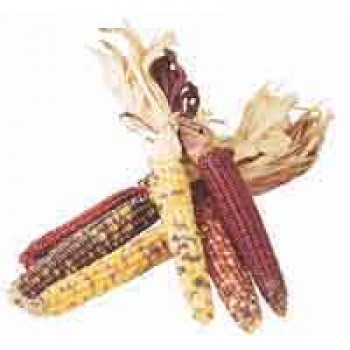 Corn Indian Mini